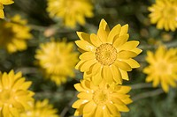 NATIVE WESTERN AUSTRALIAN SCHOENIA FILFOLIA DAISIES. CLASSIFIED AS THREATENED FLORA