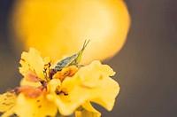 Marigolds or Tagetes erecta flower and grasshopper