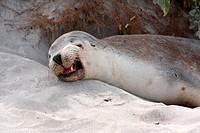 Australian Sea Lion (Neophoca cinerea). Seal Bay Conservation Park, Kangaroo Island, South Australia.