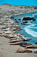 Seal in Big Sur