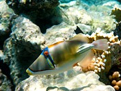 Picasso trigger fish and reef