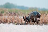 Water Buffalo (Bubalus bubalis) - Eating in water - Tale Noi - Thailand Buffle d'eau