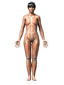 Female muscular system, computer illustration.