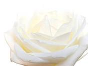 l white rose