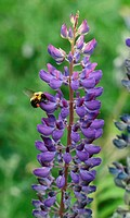 lupine flower and bee 3