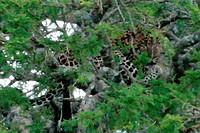 Leopard - Serengeti , Tanzania, Africa