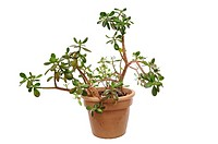 Green Jade plant in pot