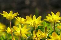 yellow buttercups