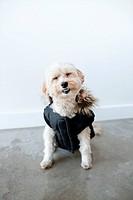 Portrait of cute smiling dog wearing waterproof dog coat
