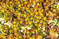 Young Moss in Spring