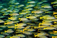 Shoal of Blue and Gold Snapper, Lutjanus viridis, Cocos Island, Costa Rica