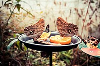 Butterflies and fruit