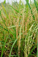 Gold rice in the rice field