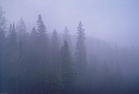 Fog-shrouded Spruce forest in Laurentian mountains north of Montreal in early spring