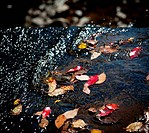 Autumn leaves in river