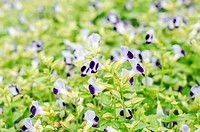 Torenia or Wishbone flowers