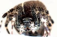 Big spider on isolated white background macro shot