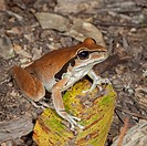 Stony Creek Frog (Litoria wilcoxii), Fam. Hylidae, female, Myall Lakes National Park, New South Wales, Australia