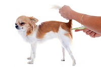 chihuahua and thermometer in front of white background