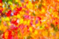 autumn colorful golden red vineyard leaves in mediterranean field