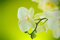 Beautiful white phalaenopsis flowers