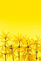 Yellow background with forsythia flowers