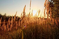 spikelets of grass at sunset
