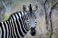 Burchell´s zebra (Equus quagga burchellii). Also know as bontequagga, Burchell´s zebra, Damara zebra, and Zululand zebra. Kruger National Park. Mpumal...
