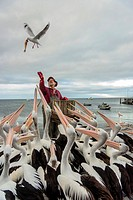 Food pelicans. Australian pelican. Silver Gull. Kangaroo island. Kingscote. Australia