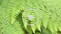 Forest ferns. Giant's Castle Game Reserve. Ukhlahlamba Drakensberg Park. KwaZulu Natal. South Africa