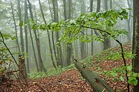 Landscape of a foggy forest with European beech (Fagus sylvatica) in autumn.