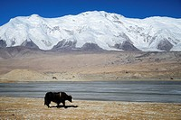 China, Xinjiang Uyghur Autonomous Region, yak at Karakul lake (3600m) in winter.
