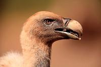 griffon vulture (Gyps fulvus) in Sierra Morena. Córdoba.