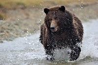 Grizzly Bear (Ursus arctos horribilis) fishing on salmon in river, Kinak bay, Katmai national park, Alaska, USA.