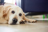 Bored Golden Labrador on the floor