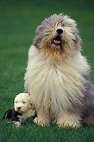 Bobtail Dog or Old English Sheepdog, Mother and Pup standing on Grass.