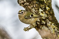 Germany, Saarland, Kirkel, A goldcrest is sitting on a branch.