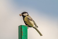 Germany, Saarland, Niederbexbach, A Great tit on a steel post with a crab spider in the beak