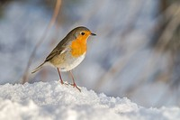 Germany, Saarland, Bexbach, A robin redbreast in the snow is searching for fodder.