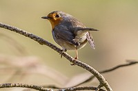 Germany, Saarland, Bexbach, A robin redbreast is searching for fodder.