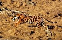 Bengal Tiger, panthera tigris tigris, Adult Running.