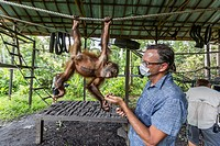 Young orangutan, Pongo pygmaeus, with tourist at the Orangutan Foundation Care Center, Camp Leakey, Borneo, Indonesia.