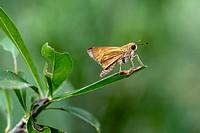 Skipper Butterfly Species - Camp Lula Sams, Brownsville, Texas, USA.