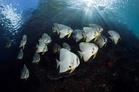Shoal of Longfin Batfish, Platax teira, Raja Ampat, West Papua, Indonesia.