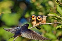 Barn swallow (Hirundo rustica) Fledglings out of the nest waiting to be fed by parent bird, Buffalo Pound Provincial Park, Saskatchewan, Canada.