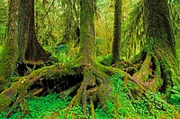 A colonaid of western hemlock trees (Tsuga heterophylla) on a nurse log, Hoh Rain Forest, Olympic National Park, Washington USA.