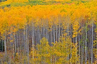Autumn aspens in the Meikie River Valley, Manning, Alberta, Canada.