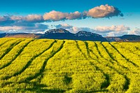 Loquiz mountain range and cereal crop. Tierra Estella, Navarre, Spain, Europe.
