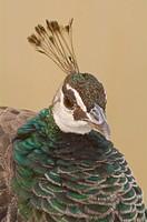 Female Peacock (Pavo cristatus). Seville, Andalusia, Spain.