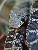 Head of snake, Hemorrhois hippocrepis. Ronda, Málaga, Andalusia, Spain